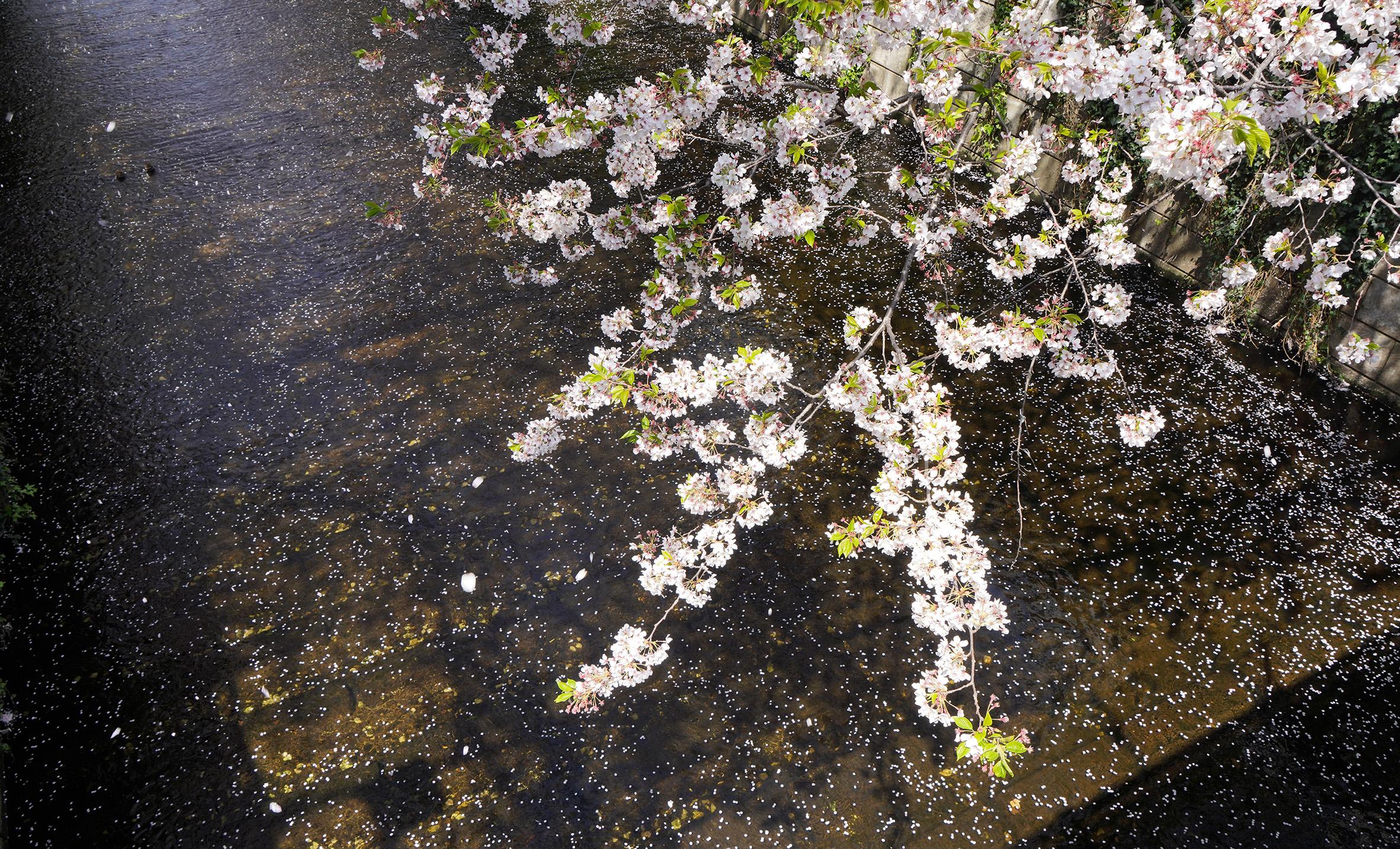 Reiko Hiramatsu, Petali di ciliegio sul fiume Meguro, quartiere Meguro, Tokyo, aprile 2020